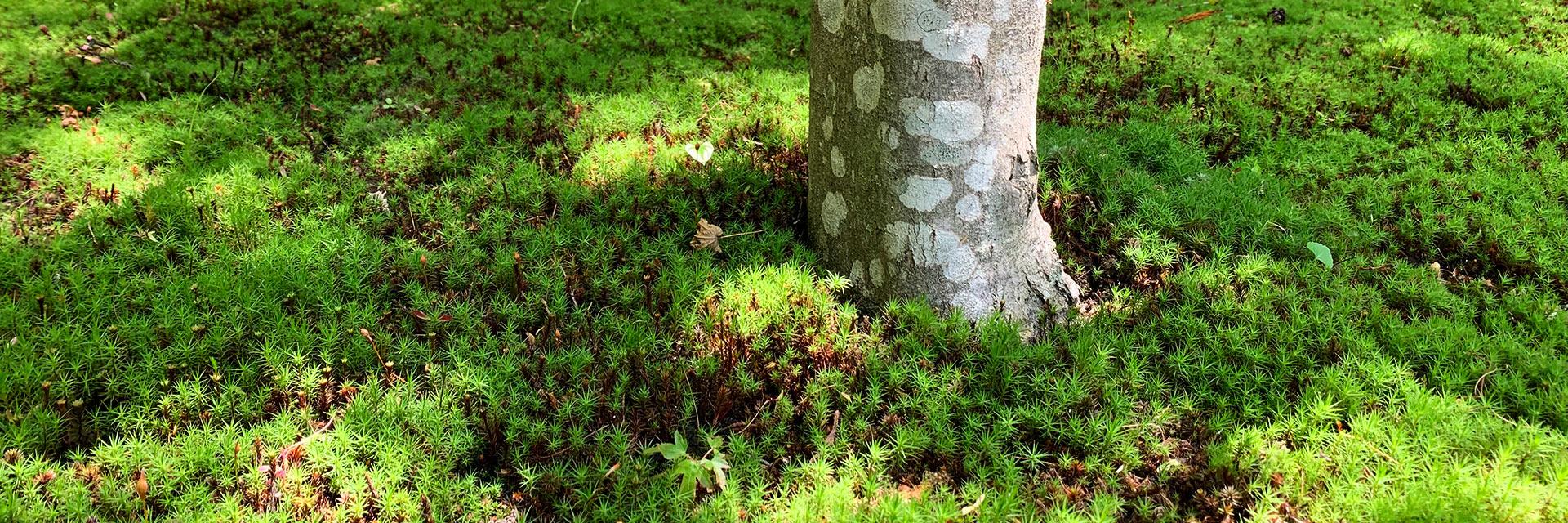 櫟野寺樹木葬墓苑の杉苔と楓の風景