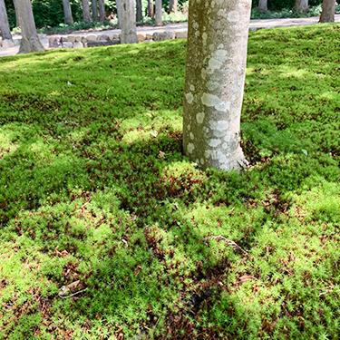 墓苑の表面は杉苔に覆われています
